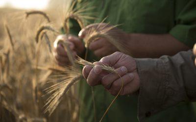 Plantation de blé